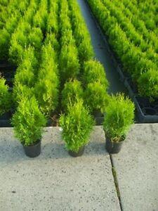 50 Stck Thuja Smaragd Lebensbaum Hecke Heckenpflanzen immergrün 20 ...