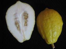 30PCs Seeds Citrus Medica Ju Yuan Citron Melon Herbal Rutaceae Etrog Citron