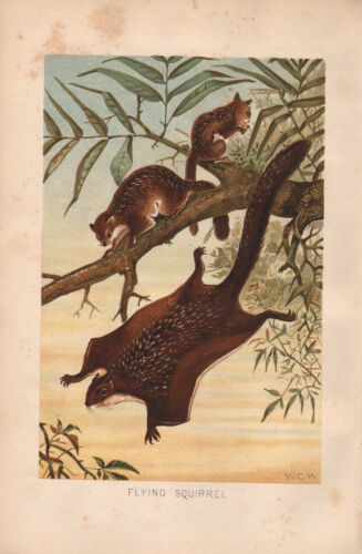 1895 VICTORIAN NATURAL HISTORY PRINT FLYING SQUIRREL