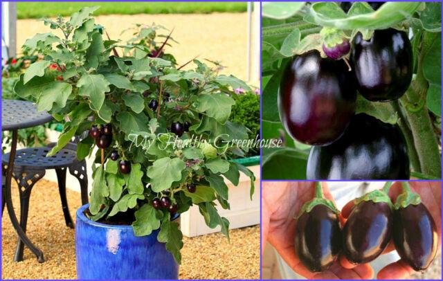 """SEEDS – Prolific, Dwarf, Bonsai Eggplant """"Mini Egg"""", Heavy Cropper, Easy Grow"""