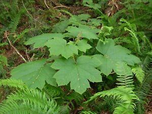 50 seeds Devil/'s high Oplopanax elatus