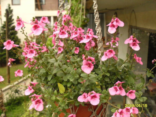 100 PINK QUEEN TWINSPUR Diascia Barberae Flower Seeds Evergreen Houseplant Gift