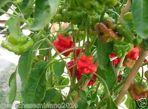 20 semi di peperoncino piccante mushroom red fungo rosso for Acquisto piante peperoncino