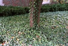 ENGLISH IVY plant 50 Live rooted cuttings evergreen ground cover Hardy Vines