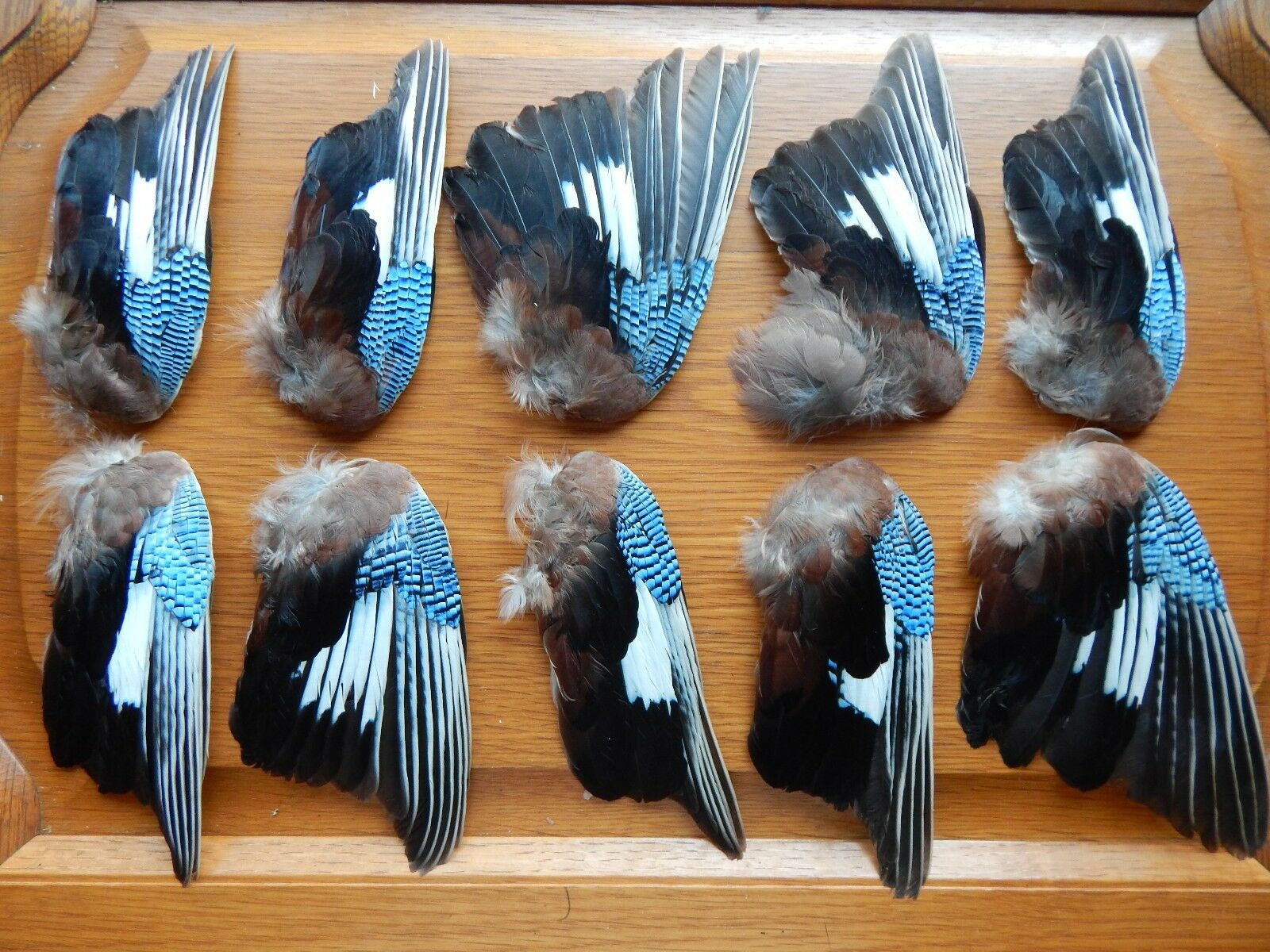 10 Odd Dried Jay Wings Bird Wings Fly Tying Arts Crafts Taxidermy