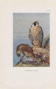 Wanderfalke-Peregrine-falcon-Falco-peregrinus-Falke-Falken-FARBDRUCK-von-1925