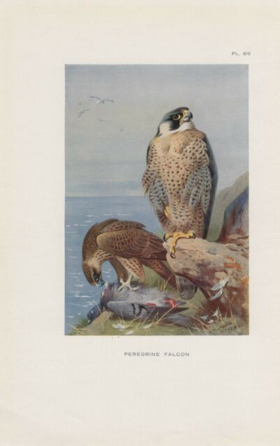 Wanderfalke Peregrine falcon Falco peregrinus Falke Falken FARBDRUCK von 1925