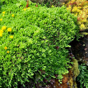 ONE-POTTED-ICE-PLANT-DELOSPERMA-CONGESTUM-GROUND-COVER-HARDY-YELLOW-FLOWERS