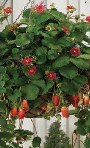 Fruit - Strawberry - Tarpan - 10 Seeds