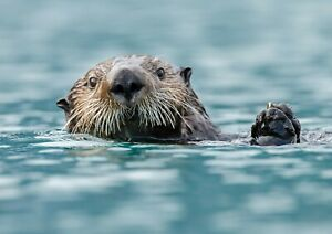 A4-Cute-Sea-Otter-Poster-Print-Size-A4-Ocean-Wild-Animal-Poster-Gift-14162