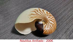 Nautilus-Anillado