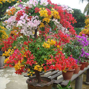 100PCS-Mix-color-Bougainvillea-Spectabilis-Willd-Bonsai-Blume-Saat-NEU-G0X5