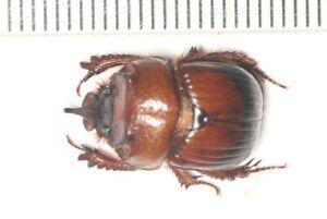 Geotrupidae-Geotrupinae-Bolboceratidae-Bolbelasmus-sp-DALI-YUNNAN