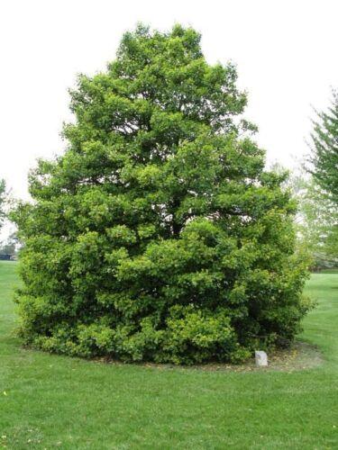 American Holly Tree 20 x ilex Opaca seeds