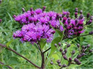 Ironweed-Vernonia-Fasciculata-200-Seeds-BOGO-50-off-SALE