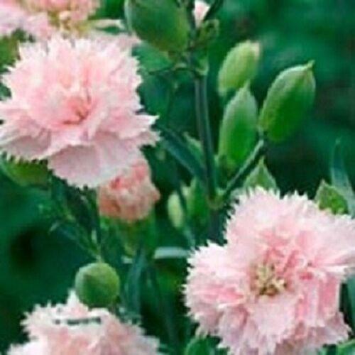 Carnation Seeds Chaband La France Seeds Dianthus Seeds 50 Flower Seeds