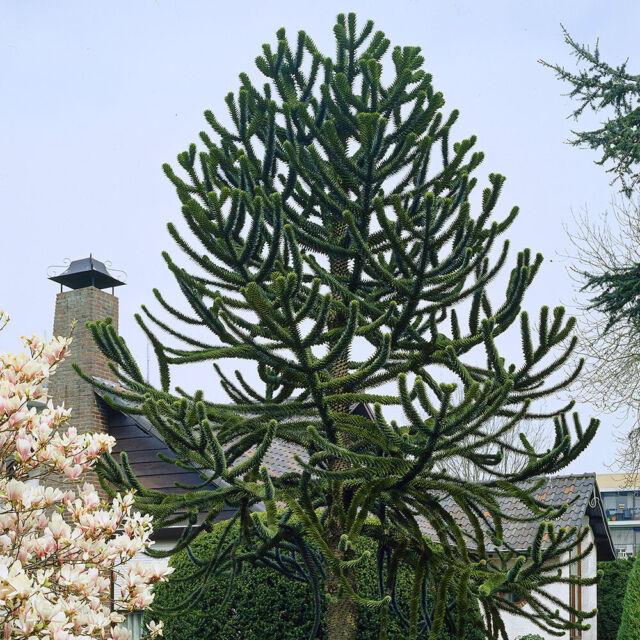 Large Size 50-70cm Tall in a 5L Pot Araucaria araucana Monkey Puzzle Tree