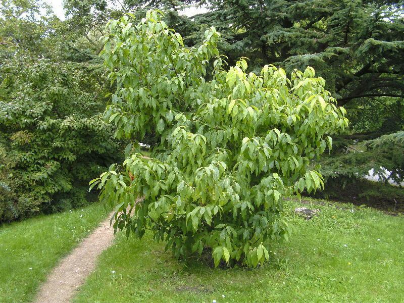 Ugnadia speciosa ( Amazing plant       )   3 plantes