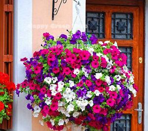 TRAILING-PETUNIA-MIX-BALCONY-4-000-SEEDS-0-5g-Petunia-hybrida-pendula-FLOWER