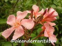 Oleander Pflanze Tito Poggi 60-70cm 3l Topf Apricot