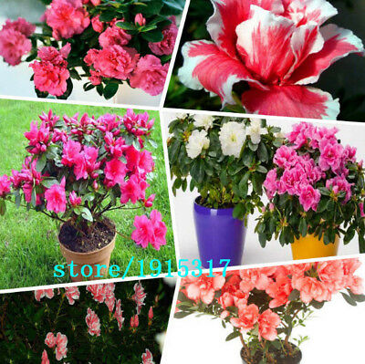 100 Seeds 100 Genuine Mix Color Azaleas Rhododendron Simsii Seeds Bonsai New S For Sale Online