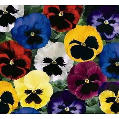 Flower - Pansy - Swiss Giants Mixed - 30 Seeds
