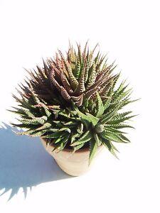Haworthia - Sukkulente, ungetopft, kräftige Jungpflanze (2) pflegeleicht - Seligweiler, Deutschland - Haworthia - Sukkulente, ungetopft, kräftige Jungpflanze (2) pflegeleicht - Seligweiler, Deutschland