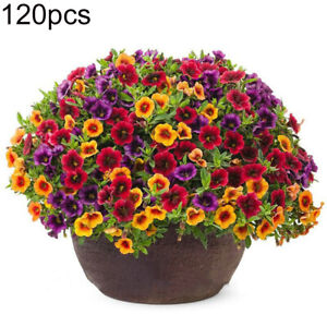 Am-120Pcs-Mixed-Gloxinia-Calibrachoa-Petunia-Flower-Seeds-Garden-Yard-Bonsai-Pl