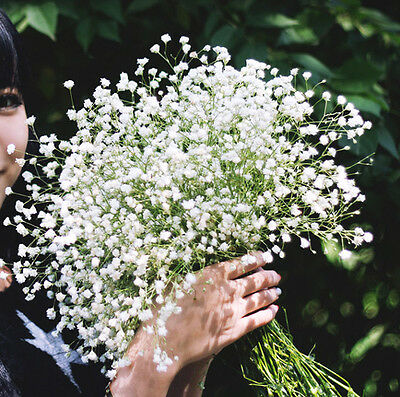 Graceful Gypsophila Seed 50 Seeds Gypsophila Elegans Babysbreath Flower Hot A027