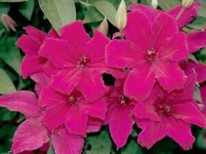 25 dark pink clematis seeds large bloom climbing perennial garden image is loading 25 dark pink clematis seeds large bloom climbing mightylinksfo