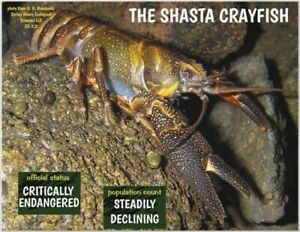 The-Shasta-Crayfish-Endangered-Species-reminder-by-034-PostcardsTo-SaveThePlanet-034