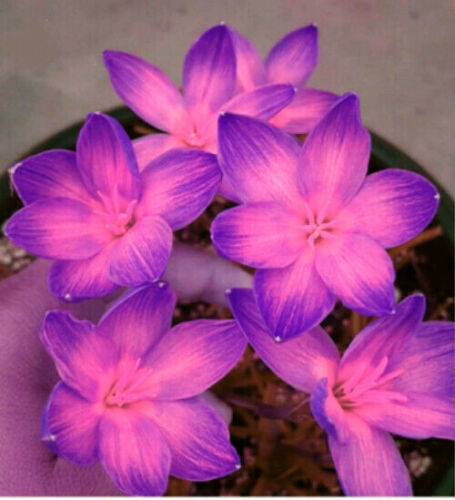 Really Stunning Pink Purple Rain Lily Bulb Flower Potted Bonsai Indoor Miniscape