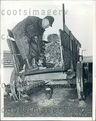 1943 US Sec of Agriculture Claude Wickard Shovels Corn to His Pigs Press Photo