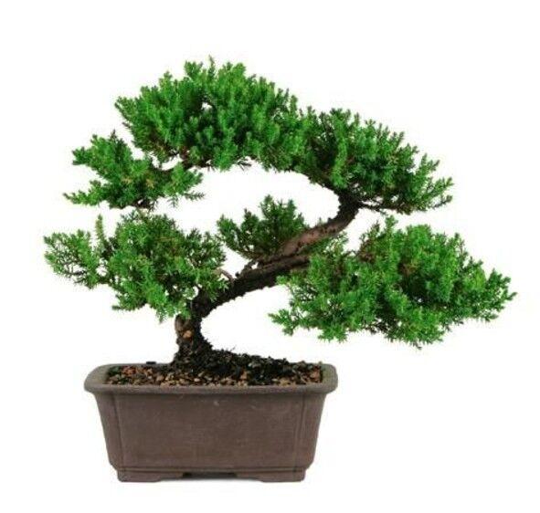 Juniper Bonsai Tree Great Gift Evergreen Small Desk Ornament Indoor Plant Grow For Sale Online Ebay
