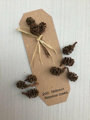 coronas escuelas 200 conos de pino abeto PEQUEÑO Sequoia Redwood-Artesanía Navidad