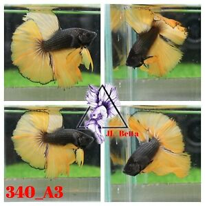 [340_A3]Live Betta Fish High Quality Male Fancy Over Halfmoon 📸Video Included📸