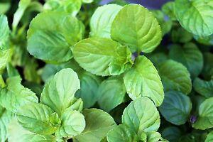 Orangenminze-10-Samen-DUFTIG-und-BESONDERS