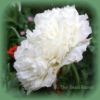 White Cloud Poppy Seeds