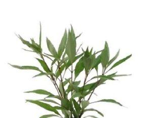 x-3-hygrophila-nomaphila-stricta-thailand-plante-aquarium