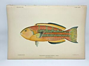 Antique-Lithographic-Print-Reef-Fishes-Hawaiian-Islands-Bien-1903-Plate-34