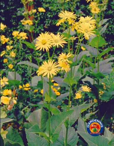 25 Cup Plant Silphium perfoliatum Flower Seeds Beautiful Sunflower