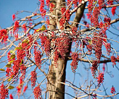 IGIRI TREE - 60 SEEDS - CHINESE WONDER TREE - Idesia polycarpa