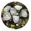 Haworthia-groenewaldii-Succulent-plants-potted-Plants-Home-Garden-Bonsai-Garden thumbnail 5