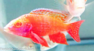 (1) MALE Strawberry Peacock 1.5 inch Aulonocara African Cichlid GUARANTEED