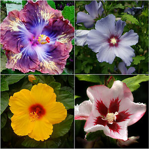 Exotic Tropical Hibiscus Seed Purple Yellow Red Pink Blue New Mixed
