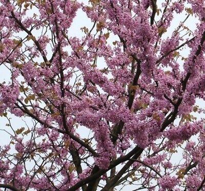 Cercis siliquastrum Judas Tree 30+ Samen Judasbaum Seeds Saatgut