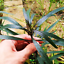 Hygrophila-Angustifolia-Bunch-B2G1-Live-Aquarium-Plants-Decorations-Beginner-Ada thumbnail 1