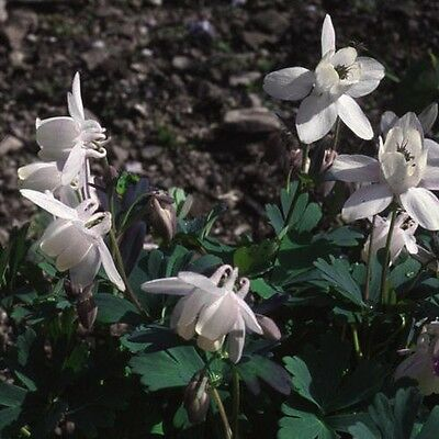 Flower - Aquilegia flabellata alba - 20 Seed  - Limited Supply