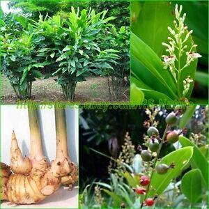20 seeds galangal alpinia galangal greater galangal herb for Galangal living