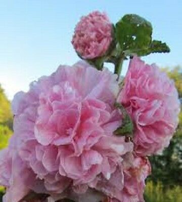 30+ PINK GIANT DANISH DOUBLE HOLLYHOCK  FLOWER SEEDS / PERENNIAL